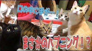 新猫じゃらしで遊んでたらとんでもないハプニングが!?口の中に手が…スポッ!