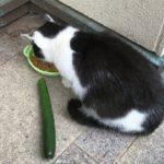 猫おもしろ 猫はきゅうりにびっくりする検証 超笑える 最高に面白い猫動画 #19
