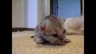猫 ネコ ねこ! 超カワイイ動画集001 子猫