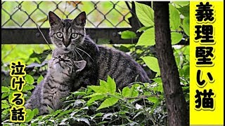 👀【感動 泣ける話】猫は三日で恩を忘れるなんてうそだなぁと思っている(猫 感動 泣ける話 保護 涙腺崩壊 感涙 動物 動画 里親)招き猫ちゃんねる