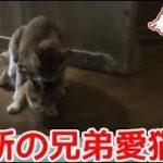 禁断の兄弟愛猫。去勢後もお盛んです。【猫、おもしろ、かわいい】Ai's forbidden love