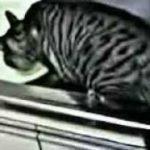 猫 ネコ ねこ! 超カワイイ動画集009子猫