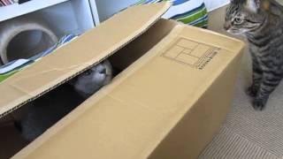 【猫・おもしろ映像】飛び出し注意!猫のびっくり箱♪