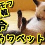 👀【激カワイイペット】【胸キューン仔猫】 かわいい猫 天真爛漫なこの猫達を 御覧ください! ・招き猫ちゃんねる