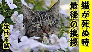 👀【感動 泣ける話】猫が死ぬ直前に心を許した人にだけ見せる行動・最後のお別れの挨拶『ニャン』と小さく鳴いて家を出ていったお話(猫 感動 泣ける話 保護  動物 動画)招き猫ちゃんねる