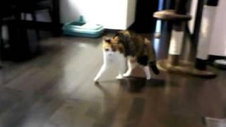 二足歩行する猫