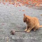 【閲覧注意】【公園猫戦争】公園の茶トラ猫、手土産にネズミを持参する The red tabby gave me the hunted mouse