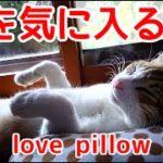 枕を気に入る猫。ジャストフィットである。Cats love pillow. Just a fit.
