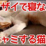 バンザイ寝最中にクシャミをする猫。