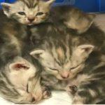 【かわいい子猫】甘えん坊すぎるマンチの仔猫ちゃん!U~~カワイイ!マンチカン Munchkin の仔猫の動画!