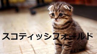 【人気のねこ】大人気スコティッシュフォールド集合✰超カワイイ癒しの猫
