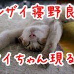 猫がバンザイで熟睡します。野生を忘れたようです。
