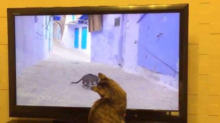 TVに夢中~「ネコ歩き」を見るネコ~