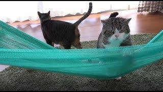 大きなハンモックに乗りたいねこ。- Maru wants to get on the large hammock.-