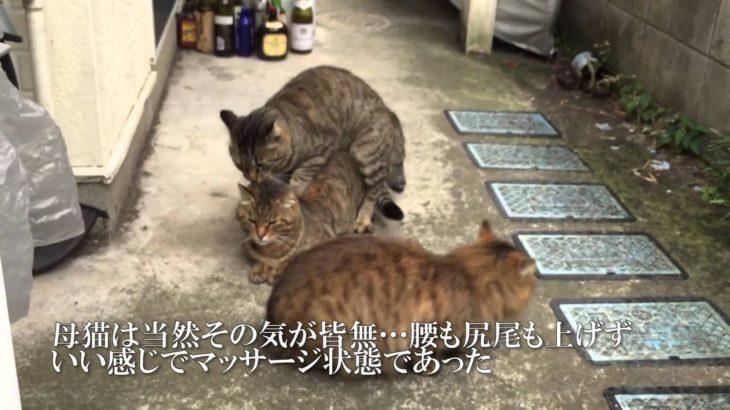 猫時空の問題児猫、避妊済みの母猫に交尾を仕掛ける
