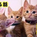 👀【避妊手術 障害猫】ごめんね アン、あなたが苦しみから解放されたことだけが私の唯一の救いです・招き猫ちゃんねる