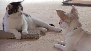 【 猫とチワワ ケンカは突然はじまります】Skirmish starts suddenly. lol