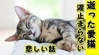 👀【猫 泣ける話】突然死した愛猫・涙がとまらない(猫 感動 泣ける話 保護 涙腺崩壊 感涙 動物 動画 里親)招き猫ちゃんねる