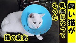 👀【病気 泣ける話】飼い猫が乳癌になってもうた・招き猫ちゃんねる