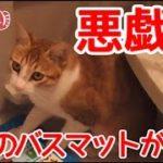 【猫おもしろかわいい】いたずら猫。バスマットをかじりまくります。