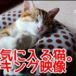 枕を気に入る猫のメイキング映像。Cats love pillow. Just a fit.Making the video.