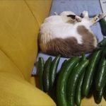 猫の後ろにキュウリ置いてビクッ!!ってなる例のアレに挑戦してみた