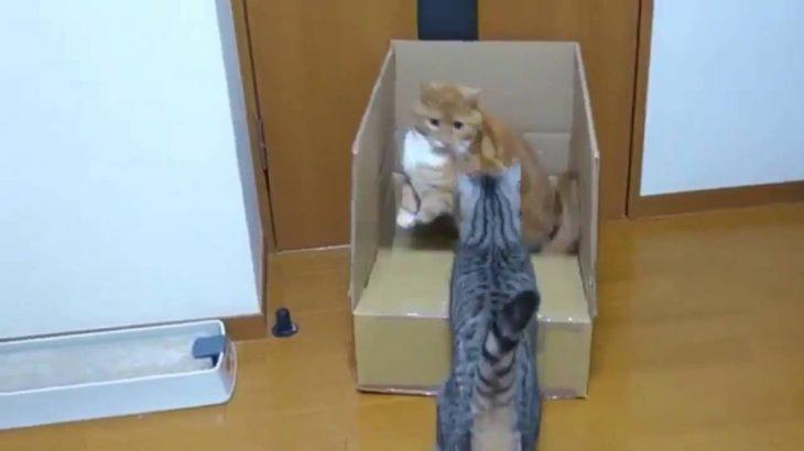 【ドッキリ】 箱に入った猫を猫がびっくりさせた結果www