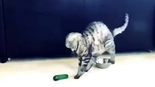 【猫ときゅうり】猫が、きゅうりにびっくり!驚いたにゃー!