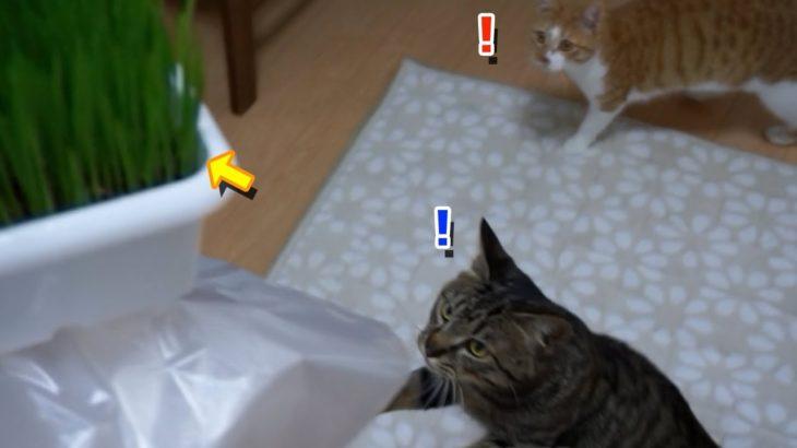 初めての猫草!むしゃむしゃ食べる猫がカワイイ!【すず/コテツ】