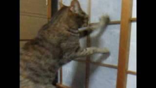 必死な猫~障子と闘う