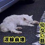 👀【 感動 泣ける話】猫の恩返し『さちこ』という薄汚れた白い野良猫の切ない話・どんぐりの恩返し(泣)(猫 感動 泣ける話 保護 涙腺崩壊 感涙 動物 動画 里親)招き猫ちゃんねる