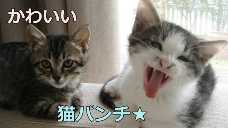 猫パンチ★の連打がかわいすぎる!兄妹猫の格闘技2連発をどうぞ♪