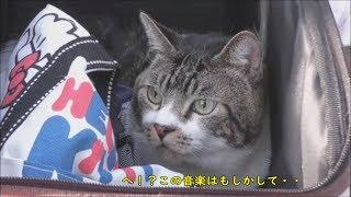 リキちゃんびっくり☆花見に来たはずが、まさかあの有名なパレードに遭遇!?岡崎城桜まつり2018 part3☆猫と散歩・お出かけ動画【リキちゃんねる 猫動画】Cat video キジトラ猫との暮らし