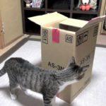 猫のびっくり箱  – Jack In The Box Cat –