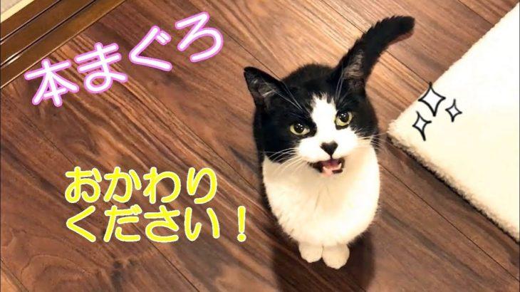 3月のウマウマデー【本マグロ赤身】を堪能した猫おむすびさん