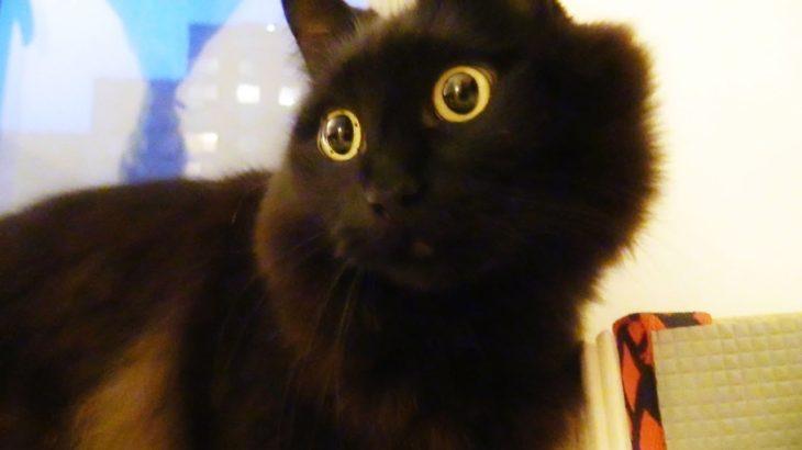 飼い主をつけまわすねこ、しおちゃん Theo the cat follows his human dad