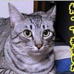 👀【猫 泣ける話】亡くなった愛猫がお盆に帰ってきました!(猫 感動 泣ける話 保護 涙腺崩壊 感涙 動物 動画 里親)招き猫ちゃんねる