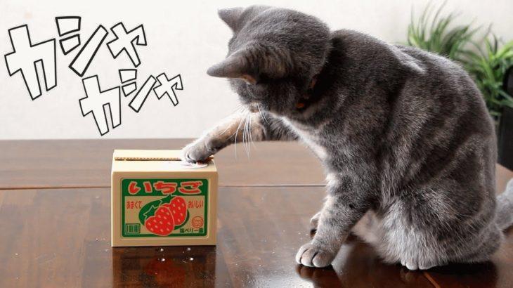 猫のかわいい貯金箱に大ウケな猫!【いたずらBANK】