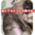 遊んでるネコのお腹がすごい! ~Is  amazing  belly  of  playing   are  cat ~