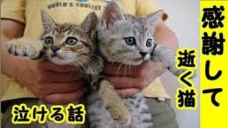 👀【猫 泣ける話】癌の猫を看取り思ったこと猫は考え深いし義理や人情もわかってるし感謝もストレートですよ・招き猫ちゃんねる