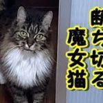 👀【感動 泣ける話 猫 】不思議な話・家猫は災いから家を守る・自分が犠牲になり家の悪因縁を立ち切った魔女猫の話・・【2ちゃんねる泣ける話 感動 動物 猫 涙腺崩壊】招き猫ちゃんねる