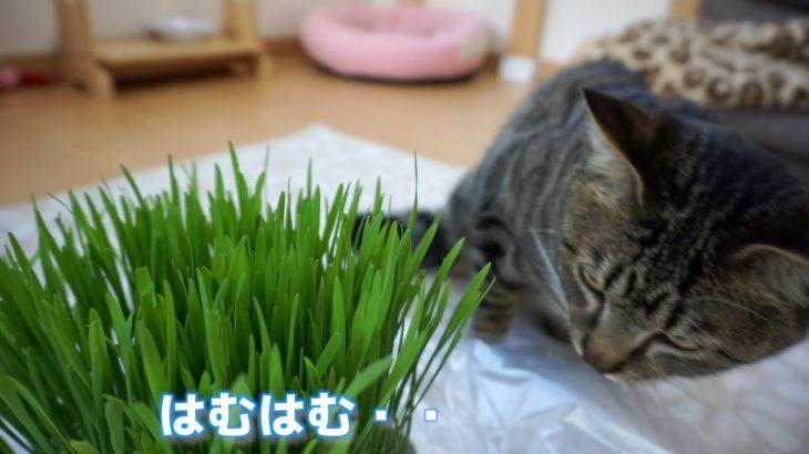 【カワイイ!】猫草が大好き!むしゃむしゃ食べる猫【すず/コテツ】
