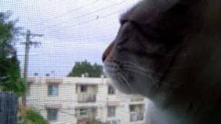 ニワトリとしゃべる猫 ( コケコッコーの巻 ) Cock-a-doodle-doo Cat
