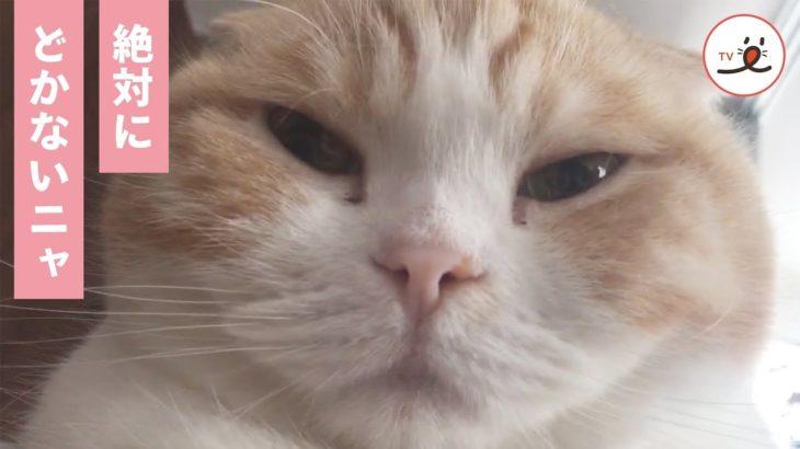 ご主人の上にドッシリ💨 実力行使で甘える猫ちゃんがカワイイ💓【PECO TV】