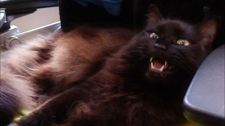 ねこが可愛すぎて「がばいいっ」と声を絞り出してしまった Theo being cute on his chair.