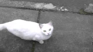 近所の白猫 野良猫 ねこ 鳴き声