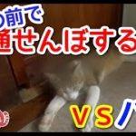 【猫おもしろかわいい】通せんぼする猫。パパとの争いに勝つのはどっち?