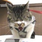 今月はチョットだけゴジラな猫リキちゃん☆動物病院通院日・支度~帰宅までのリキちゃんの様子☆激おこ猫・ビビる猫・キャットタワーが大好き♥【リキちゃんねる 猫動画】Cat video キジトラ猫との暮らし