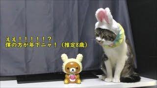 うさぎの帽子を脱ごうと思ってもすぐ忘れて違うことしちゃう猫☆リキちゃん忘れん坊!?うさ耳の猫&うさ耳リラックマ【リキちゃんねる 猫動画】Cat video キジトラ猫との暮らし