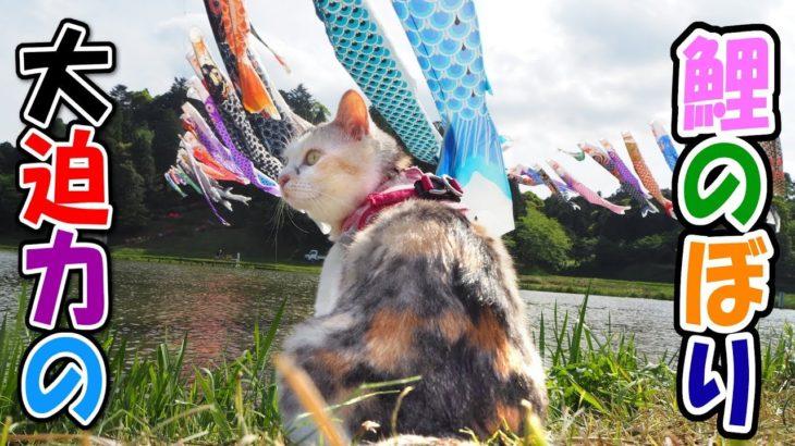 お散歩猫と目の前で泳ぐ大迫力の鯉のぼり